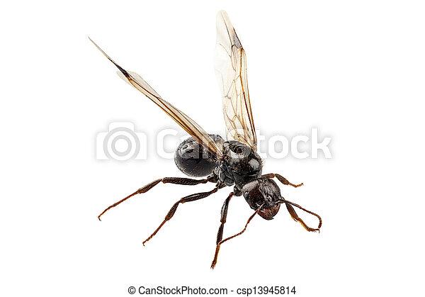 pretas, jardim, lasius, niger, formiga, espécie, winged - csp13945814