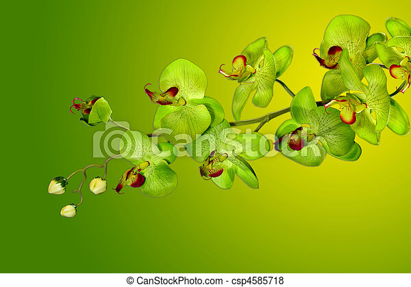 Pretty Green and Yellow Orchids - csp4585718