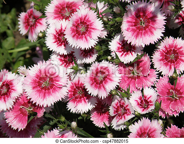 Pretty pink and white flowering sweet william flowers in a garden pretty pink and white flowering sweet william flowers in a garden csp47882015 mightylinksfo