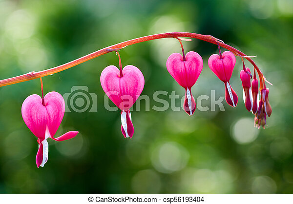 Close up of a cluster of bleeding hearts growing in the spring pretty pink bleeding heart flowers string out on a branch csp56193404 mightylinksfo