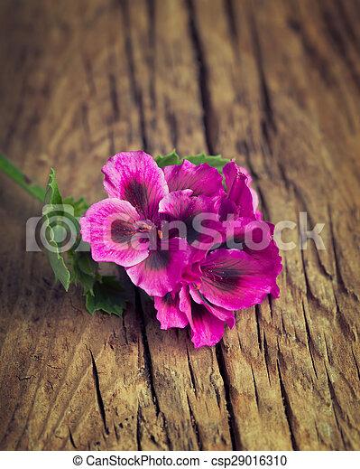 Pretty pink geranium on a vintage wood background - csp29016310