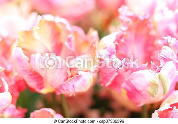Pretty pink tulips - csp37386396