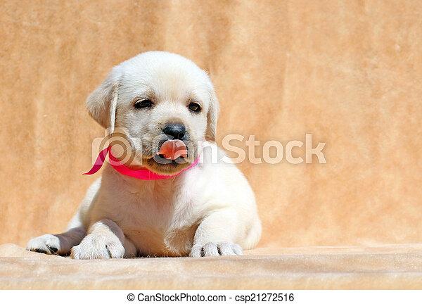 pretty yellow labrador puppy portrait close up - csp21272516