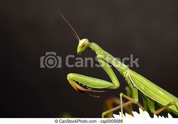 Preying Mantis - csp0005688