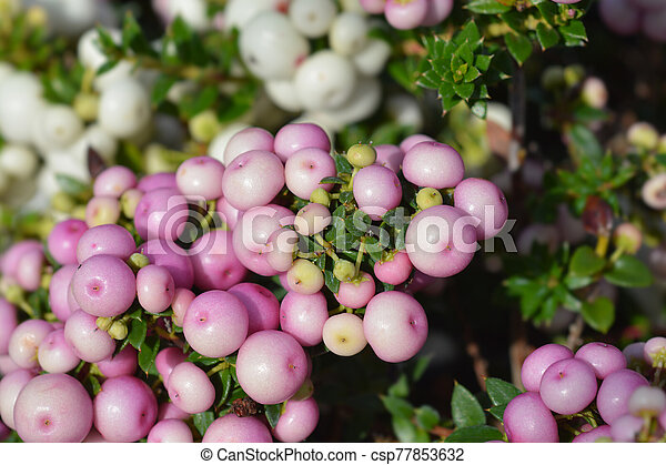 Gaultheria Pernettya.Prickly Heath Pink Berries Latin Name Gaultheria Mucronata Pernettya Mucronata Canstock