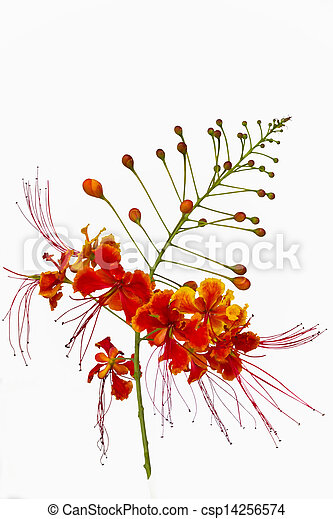 Pride Of Barbados Flower Isolated On White Background