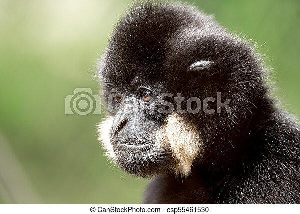 primate gibbon (Nomascus gabriellae) - csp55461530