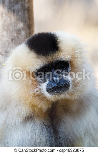 primatte Yellow-cheeked gibbon (Nomascus gabriellae) - csp46323875