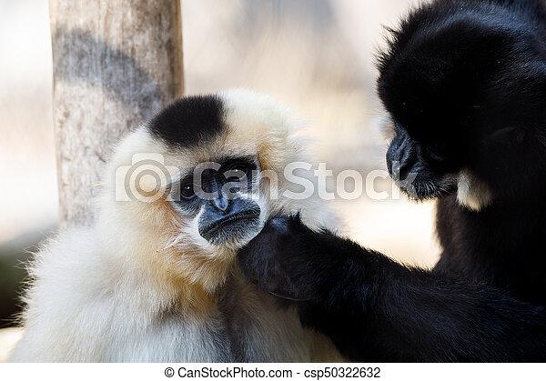 primatte Yellow-cheeked gibbon (Nomascus gabriellae) - csp50322632