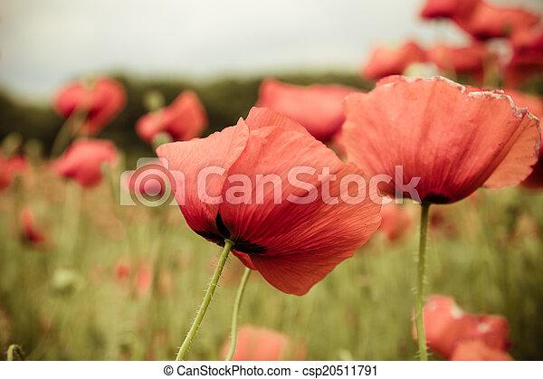 Cerca de flores de amapola roja en el campo de primavera - csp20511791