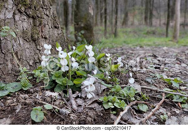 Violetas blancas en el bosque de primavera - csp35210417