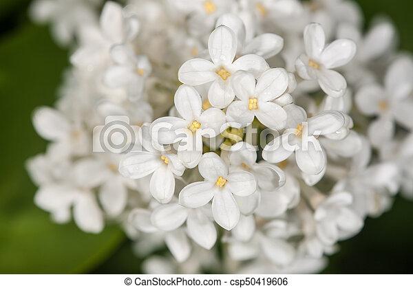 primavera, blanco, lila - csp50419606