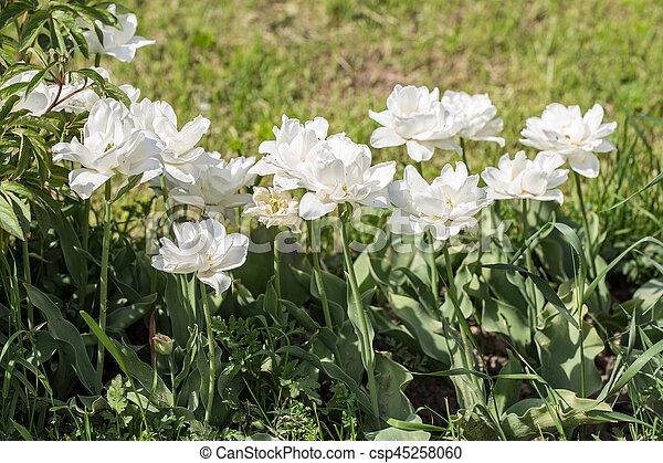 primavera, blanco, tulipanes - csp45258060