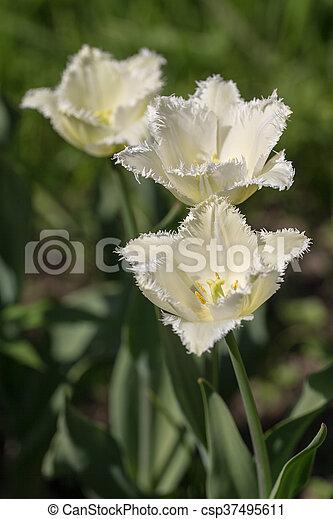 primavera, blanco, tulipanes - csp37495611