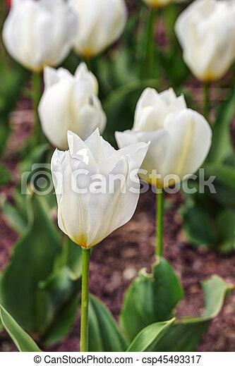 primavera, blanco, tulipanes - csp45493317