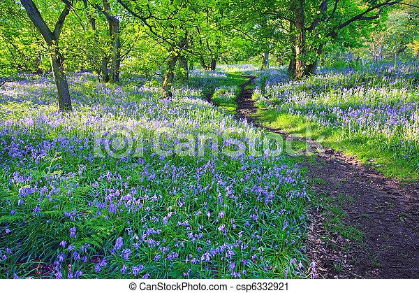 primavera, bosque, reino unido, bluebells - csp6332921