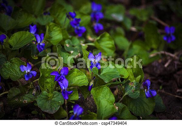 Violetas del bosque en primavera - csp47349404