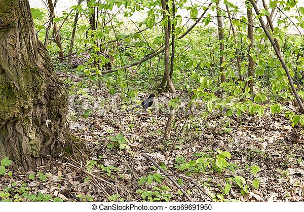 Mirlo en un bosque decisivo en primavera - csp69691950
