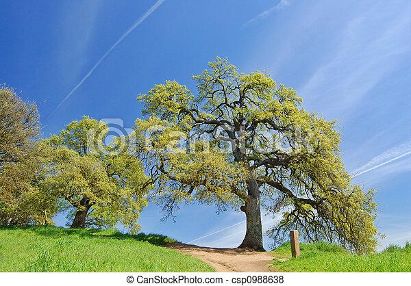 primavera, carvalho, árvores - csp0988638