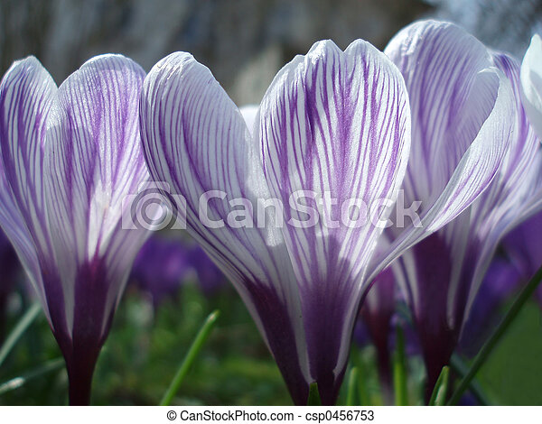 primavera, croco - csp0456753
