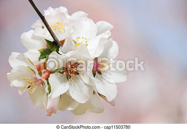 primavera, fiore - csp11503780