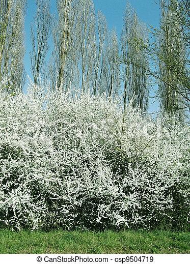 primavera, fioritura, albero - csp9504719