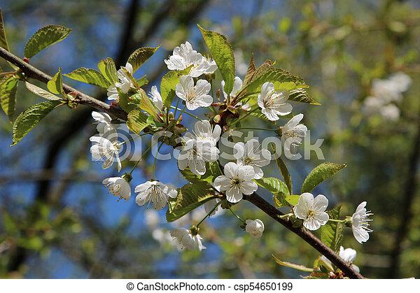 primavera, fioritura - csp54650199