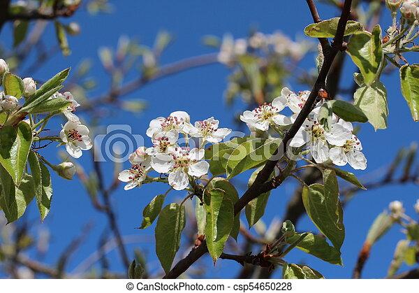 primavera, fioritura - csp54650228