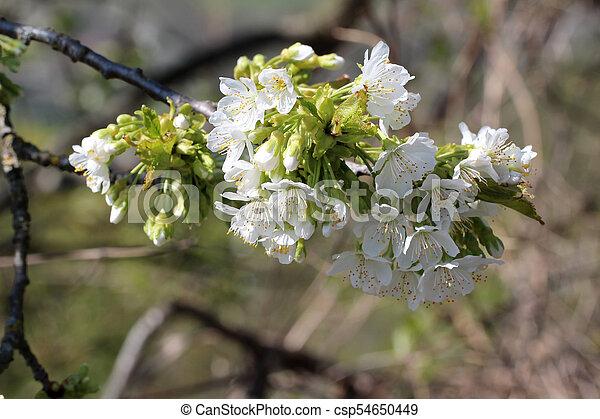 primavera, fioritura - csp54650449