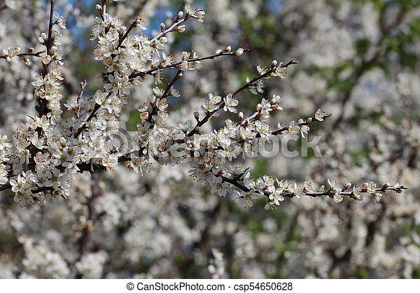 primavera, fioritura - csp54650628