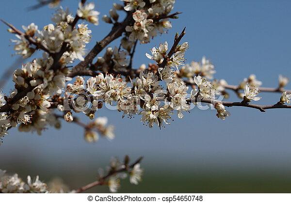 primavera, fioritura - csp54650748