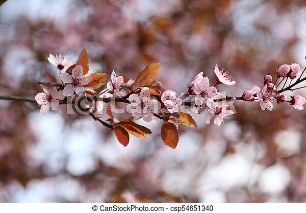 primavera, fioritura - csp54651340