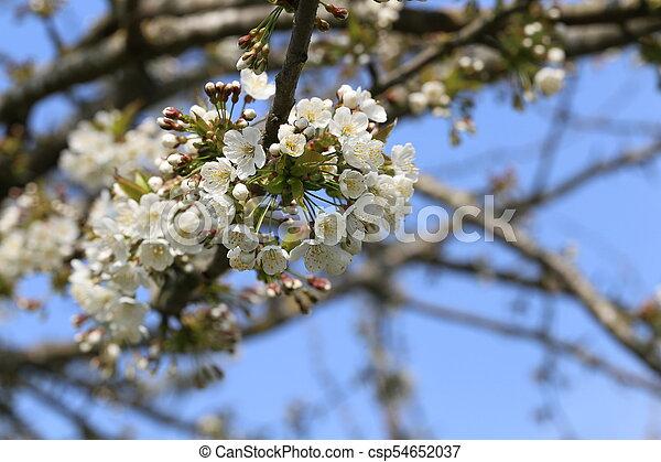 primavera, fioritura - csp54652037