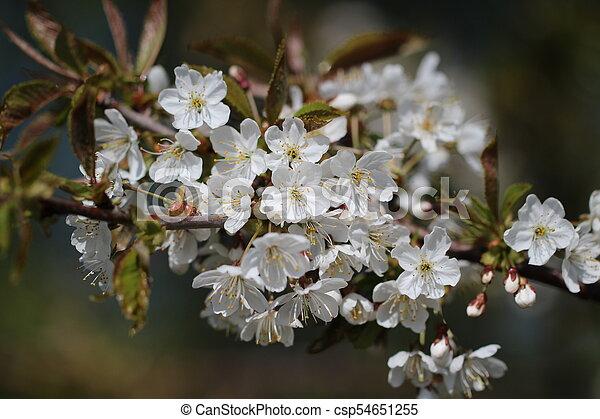primavera, fioritura - csp54651255