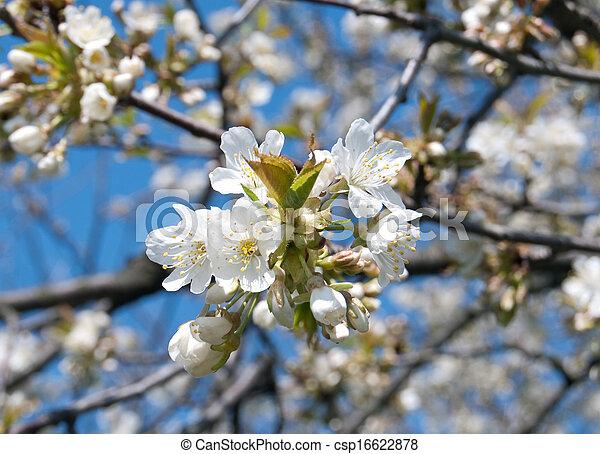 primavera, fioritura - csp16622878