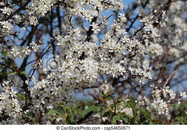 primavera, fioritura - csp54650671