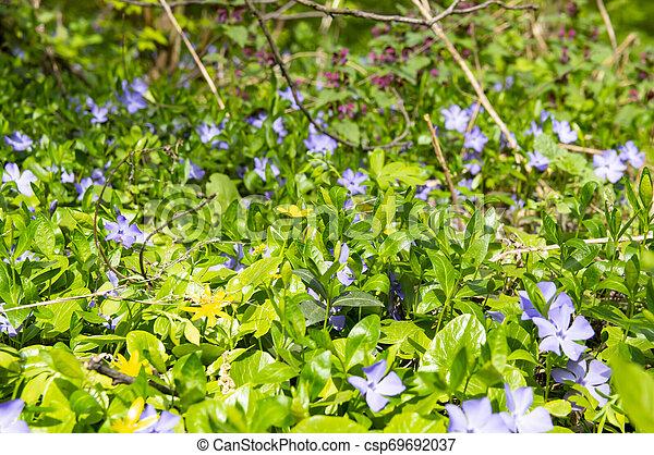 Violetas del bosque en primavera - csp69692037