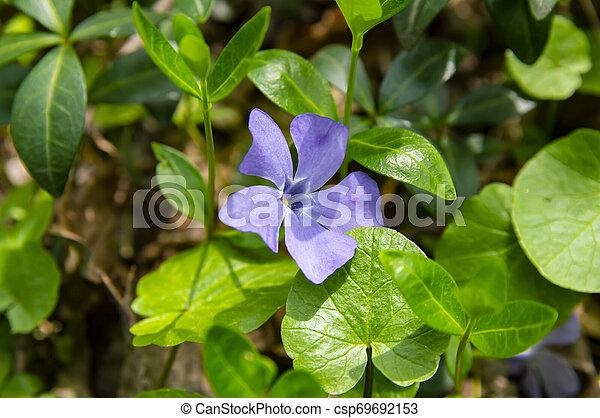 Violetas del bosque en primavera - csp69692153