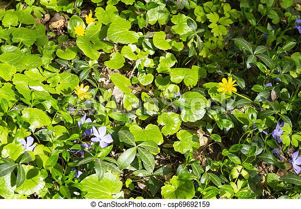 Violetas del bosque en primavera - csp69692159