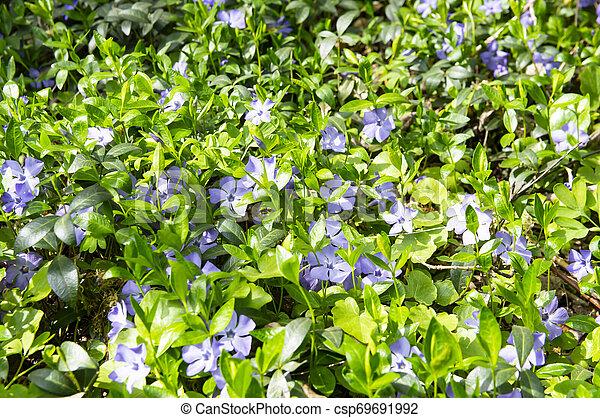Violetas del bosque en primavera - csp69691992