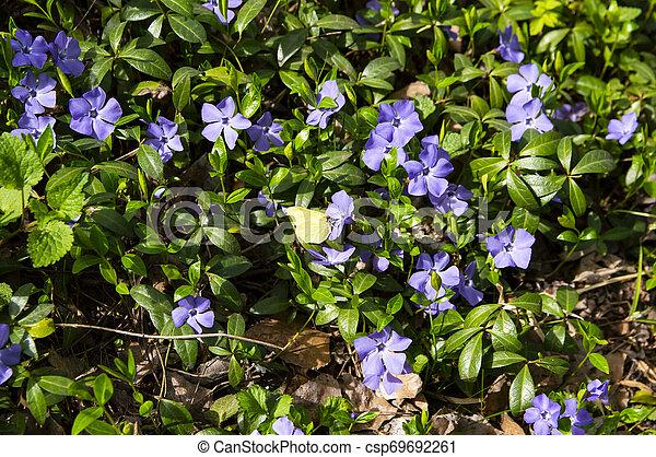 Violetas del bosque en primavera - csp69692261