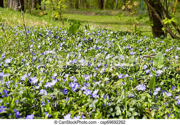 Violetas del bosque en primavera - csp69692262