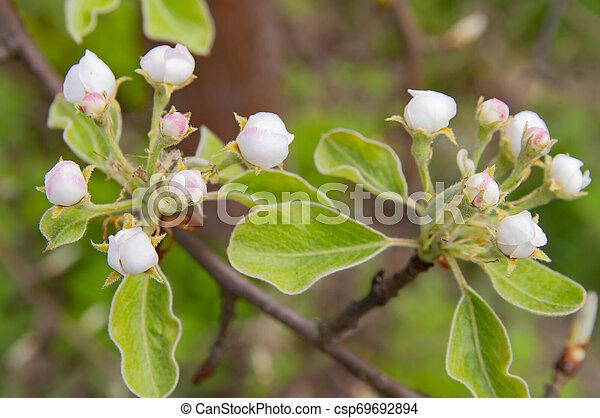 Peras de jardín en primavera - csp69692894