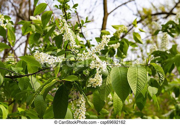 Flor de pájaro cereza en primavera - csp69692162