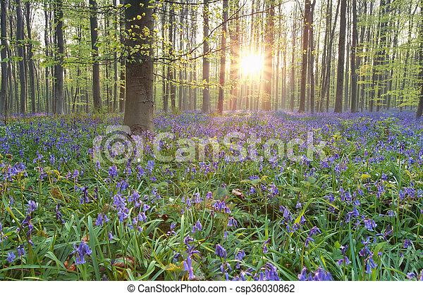 Sol en el bosque de primavera floreciente - csp36030862