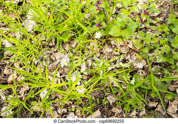 Flores blancas florecientes en el bosque en primavera - csp69692255