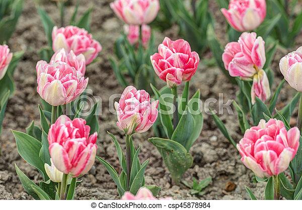 primavera, jardín, tulipanes - csp45878984