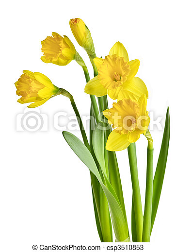 primavera, narcisos silvestres, amarela - csp3510853