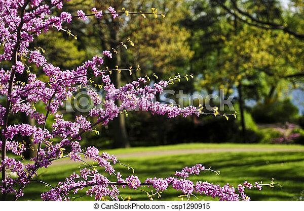 primavera, parque, cerezo, florecer - csp1290915