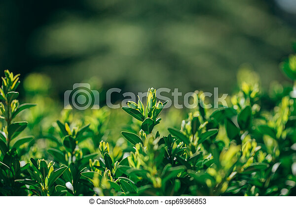 primavera, su, buxus, nuovo, chiudere, siepe, tiri, vista - csp69366853